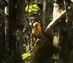 golden-bellied mangabey (Cercocebus chrysogaster)