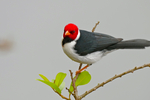 yellow-billed cardinal (Paroaria capitata)