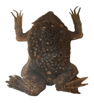 common Suriname toad, star-fingered toad (Pipa pipa)