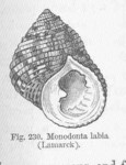 Monodonta labio (toothed top shell, lipped periwinkle)