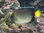 Apolemichthys xanthurus, Indian yellowtail angelfish