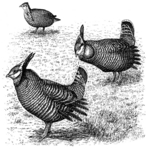 greater prairie chicken, pinnated grouse, boomer (Tympanuchus cupido)