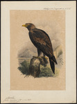 wedge-tailed eagle, eaglehawk, bunjil (Aquila audax)