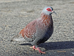speckled pigeon, African rock pigeon (Columba guinea)