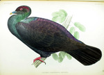 Japanese wood pigeon (Columba janthina)