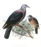 Sri Lanka wood pigeon (Columba torringtoniae)