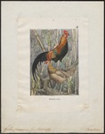 red junglefowl (Gallus gallus)