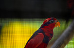 red-and-blue lory (Eos histrio)