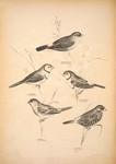 ...bella), double-barred finch (Taeniopygia bichenovii), plum-headed finch (Neochmia modesta), red-