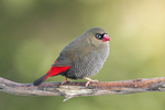 beautiful firetail (Stagonopleura bella) male