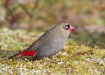 beautiful firetail (Stagonopleura bella) female