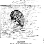 West Indian manatee, sea cow (Trichechus manatus)