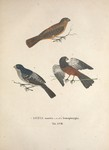 chestnut-bellied seed finch (Oryzoborus angolensis), two-barred crossbill (Loxia leucoptera)