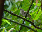 sooty-capped babbler (Malacopteron affine)