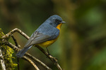 slaty-backed flycatcher (Ficedula hodgsonii)