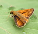 large skipper (Ochlodes venatus)