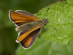 Essex skipper, European skipper (Thymelicus lineola)