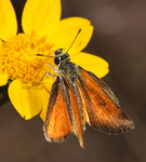 tropical least skipper (Ancyloxypha arene)