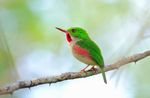broad-billed tody (Todus subulatus)