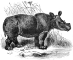 Sumatran rhinoceros, hairy rhinoceros, Asian two-horned rhinoceros (Dicerorhinus sumatrensis)