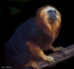 golden-headed tamarin (Leontopithecus chrysomelas)