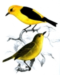 black-and-yellow tanager (Chrysothlypis chrysomelas)