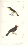 black-and-yellow tanager (Chrysothlypis chrysomelas), flame-crested tanager (Tachyphonus cristat...