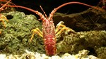 Jasus edwardsii, southern rock lobster