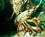 Sagmariasus verreauxi, green rock lobster