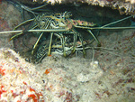 Panulirus versicolor, painted rock lobster