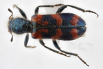 Trichodes ornatus, ornate checkered beetle