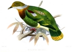 ornate fruit dove (Ptilinopus ornatus)