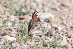 chestnut-collared longspur (Calcarius ornatus)