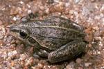 striped burrowing frog (Cyclorana alboguttata)