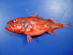 Setarches guentheri, Channeled rockfish