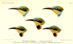 ...Swallow-tailed Bee-eater (Merops hirundineus, top) - Little Bee-eater (Merops pusillus, center a