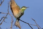 swallow-tailed bee-eater (Merops hirundineus)