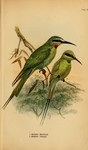 Merops orientalis cleopatra (green bee-eater), Merops viridis (blue-throated bee-eater)