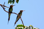 Madagascar bee-eater, olive bee-eater (Merops superciliosus)