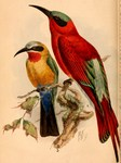 ...Merops bullockoides bullockoides (White-fronted Bee-eater), Merops nubicoides (Southern Carmine