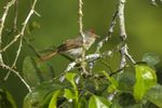 chestnut-capped flycatcher (Erythrocercus mccallii)