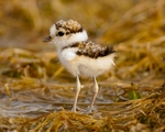 little ringed plover (Charadrius dubius) chick
