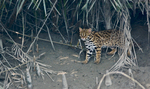 Indian leopard cat (Prionailurus bengalensis bengalensis)