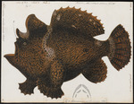Commerson's frogfish, giant frogfish (Antennarius commerson)