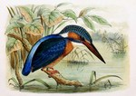 European kingfisher, common kingfisher (Alcedo atthis ispida)