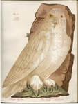snowy owl (Bubo scandiacus) - Stryx Nyctaea, Die weisse Nachteule
