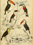 toucans - Ramphastos sp.