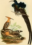 black sicklebill (Epimachus fastosus), common hoopoe (Upupa epops)