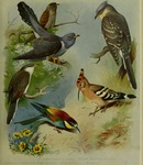 ...common cuckoo (Cuculus canorus), great spotted cuckoo (Clamator glandarius), yellow-billed cucko