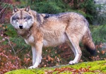 Eurasian wolf (Canis lupus lupus)